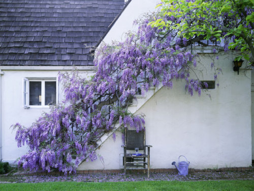 source: ivillage.com ~ love wisteria