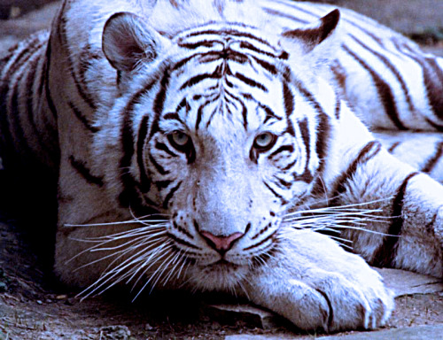 White tiger pose