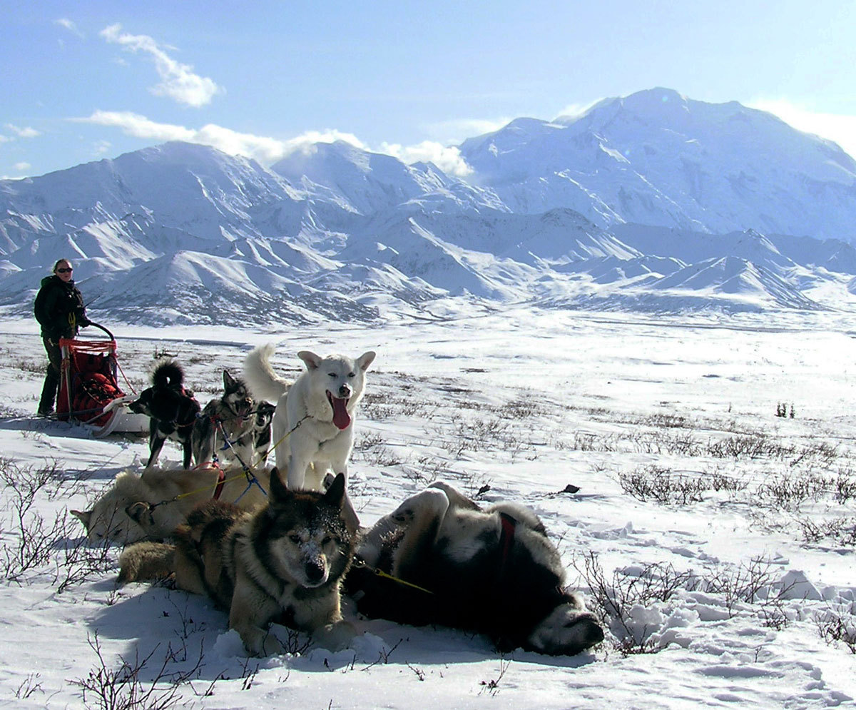 Image description: Sled dogs rest near Mount McKinley in Denali National Park and Preserve, Alaska. Denali is the only national park in America with a working kennel. Sled dogs perform essential wintertime duties in a vast expanse of designated wilderness area. Learn more about the sled dogs. You can also watch the sled dog puppies webcam. Photo from the National Park Service