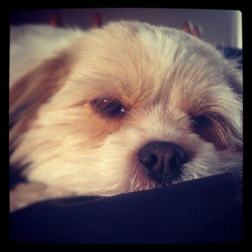 Sleepy pup :)  (Taken with instagram)
