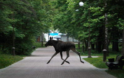 Minsk, Belarus: An elk moose runs through a park. Two elks moose roaming through a park in central Minsk were darted by a veterinarian to subdue them before being taken to the city zoo.  Photograph: Sergei Grits/AP