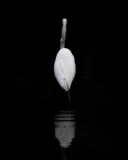 great egret stands very still and ignores me.