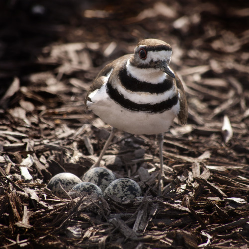 killdeer protects her eggs