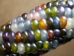 "npr:  Ooooo. jtotheizzoe:  Genetics of the Beautiful ""Glass Gem"" Corn Corn gone viral? You're looking at an ear of a corn variety called ""Glass Gem"", grown by Greg Schoen of Seeds Trust. This is real corn! How does it grow this way? First you have to understand a few things about corn. Each corn kernel is actually a sort of unique plant. A corn plant's male parts (the ""tassels"") sit at the top of the stalk, and drop pollen downward. Unfertilized ears (the female parts) catch the pollen with the sticky ends of their corn silks. Each corn silk (I hate when that gets in my teeth) grabs a pollen grain, shuttles it allllllll the way down inside the ear, eventually creating one kernel for each pollen-silk-ovum combination. It's one of the more interesting and inefficient breeding schemes I know of. If you've taken genetics, you know that the parents' genes will combine by chance, leading to certain ratios of inheritance in the offspring. This is the basis of Mendelian genetics (great Khan Academy video here). With corn, we've simply carefully bred all the interestingness out of them. Native Americans were used to multi-colored corn, because corn plants held many varieties of color genes that could combine at random. Now all we are left with are one-color clones. This ""Glass Gem"" corn is the other extreme of the spectrum, a combination of corn color hybrid genes and random pollination. It's almost too pretty to eat!   (via Discover Magazine)"