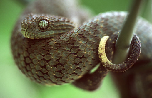 all-reptiles:  Green african bush viper