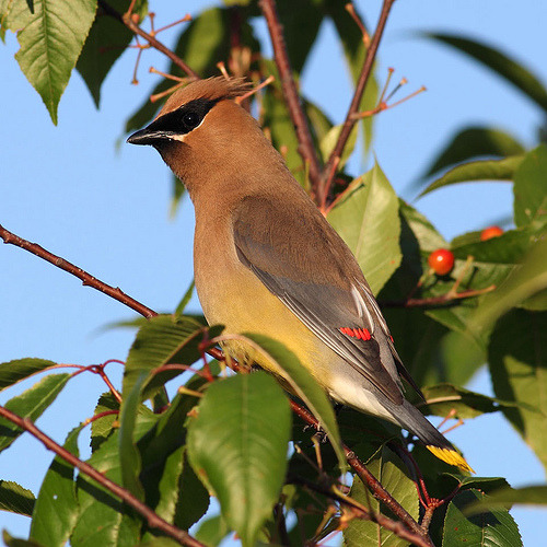 Choke Cherry Waxwing (by Jeff Dyck)