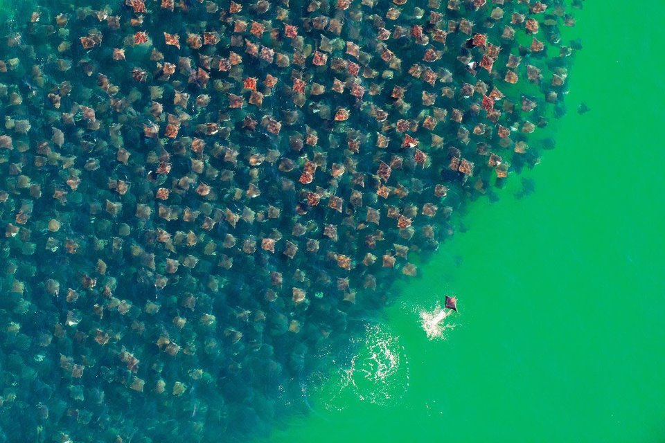 School of Munkiana Devil Rays