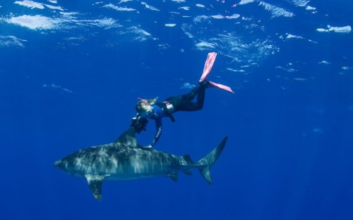 theanimalblog:  Stefanie Brendle swims with a tiger shark in the waters of Oahu in Haleiwa, Hawaii.  Stefanie, 46, from Germany, left her protective diving cage for hours at a time in order to free-dive with a group of tiger sharks three miles off the north shore of Oahu, Hawaii. Stefanie runs a shark diving tour company in Hawaii.  Picture: Doug Perrine / Barcroft Media