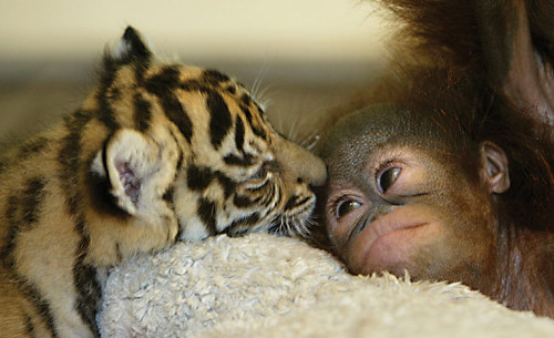 An Orangutan Baby and a Tiger Cub