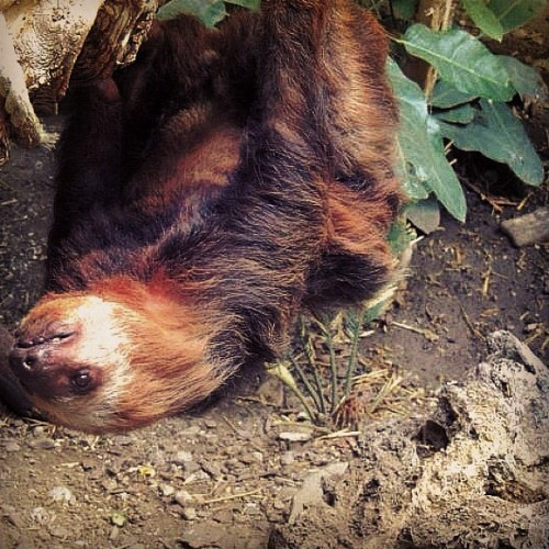 #animal #sloth #sloth #sloth #motherfuckinsloth #tree #lazy #fur #slow #branch #limb #zoo #hogal #brown #mammal #long #arm #claw #toe #arboreal #utah #tropical #southamerica #centralamerica #swag (Taken with instagram)