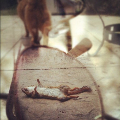 Chance the cat strikes again… Two chipmunks in two days :( ICK! #popular #gmy #gmystudios #cnnireport #photooftheday #iphoneography #instagramer #instagramers #photos #nature #photography #iphone #art #cats #chipmunks (Taken with instagram)