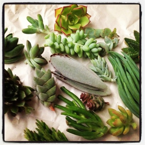 plutothecat:  my succulent cuttings just arrived and I am seriously overjoyed. they are so cute!  I spy a Crassula 'Moonglow'! May I ask where you got these? I've been looking for that particular plant, and cuttings are probably cheaper.
