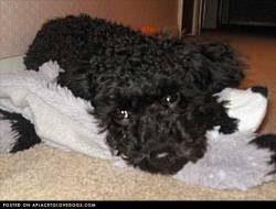 Submitted by Elizabeth N: rockyandnelson Nelson is my 8 month old Toy Poodle. He's a sweet and affectionate little puppy. Even though he's only 5 pounds Nelson is a terrific watchdog. He loves to snuggle and give kisses! This is his favorite raccoon toy Original Article
