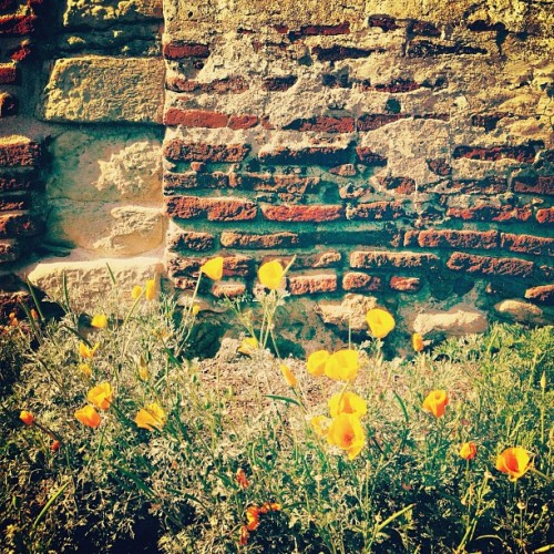 #poppy #flower #flowers #garden #brick #wall #missionsanjuancapistrano #orangecounty #california #picfx #sierra_sandwich #ss_potd #lux #latergram (Taken with Instagram at Mission San Juan Capistrano)