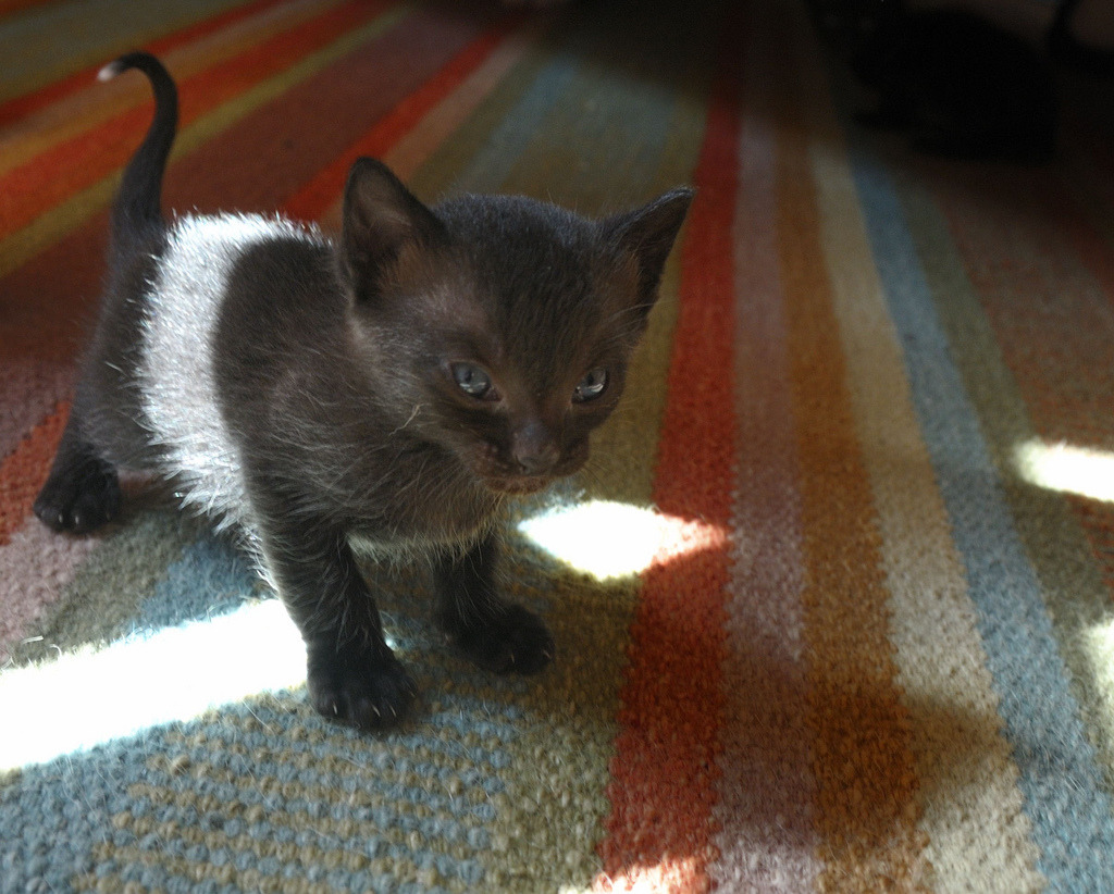 thefluffingtonpost:  PHOTO OP: Shadow Kitty Via Hitchster.