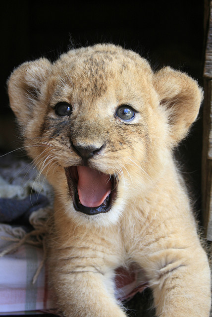 fluffy little cute lion, yoooooou