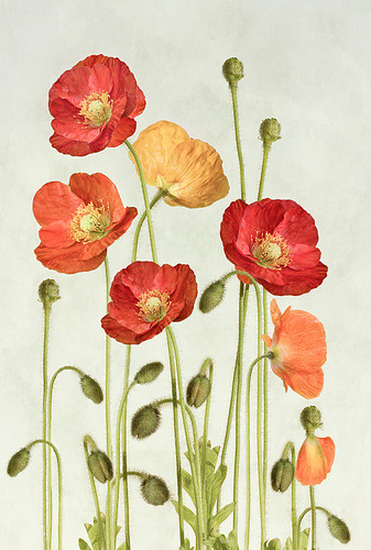 prettylittleflower:  poppies (by ~Mandy~D)
