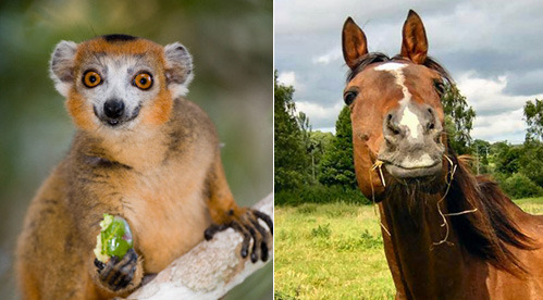 Nom Nom Nomming makes these cute animals smile. But who is cutest? Lemur OR Horse?