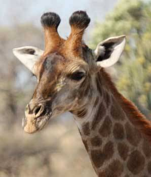 Every time I see a giraffe, I feel a sudden urge to touch their furry horns.