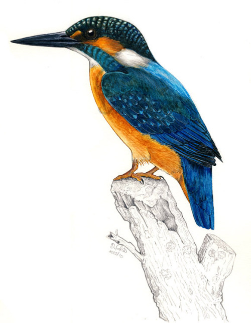 "dfalcao-art:  Alcedo atthis, Kingfisher. I'm very happy with this drawing, and probably it marked a new ""style"" in my way of painting birds. Done with watercolour, coloured pencils, markers and ink. And graphite. Going to be used for a bird guide."