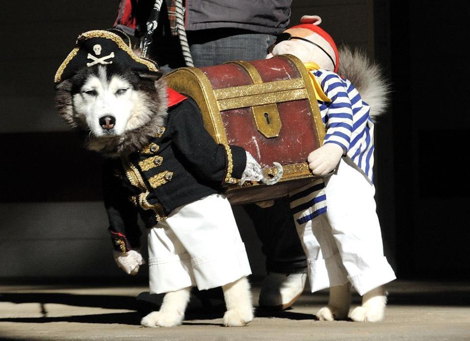 "unlikelywords:  ""If you've seen a better picture of a dog dressed as two pirates carrying a treasure chest today, I don't believe you"" via @chiefbrody1984 / Stellar  Fuzzy Animal Friday!! The final, most perfect installment."