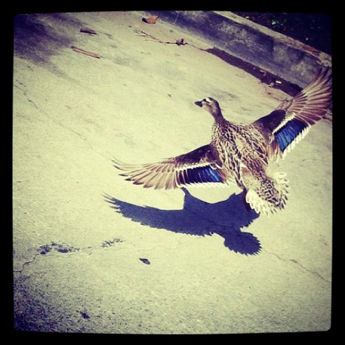 Duck! #duck #lookout #beach #canals (Taken with instagram)