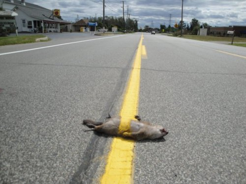 Squirrel Run Over by Line Painter You know, any other time that part of the road would have been pretty safe. Squirrel was there the one time there's actually something going down the middle of the road.