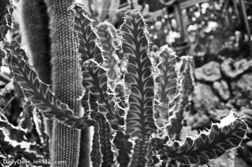 Black and white cactus experiments  http://dailydose.jermil.com/may-16-2012