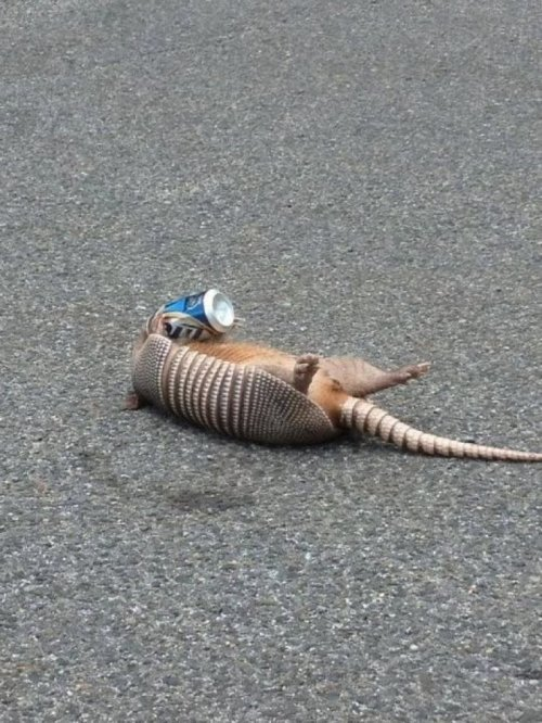 Armadillo Lying in the Street Drinking Beer The first sign of summer is drunk armadillos.