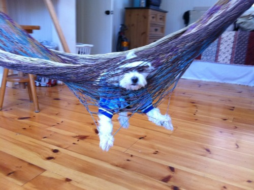 fuckyeahpuppies:  Maxie the maltese relaxing on a hammock