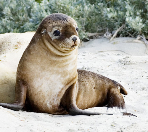theoceaniswonderful:  Sea lion Pup by Special Kylie