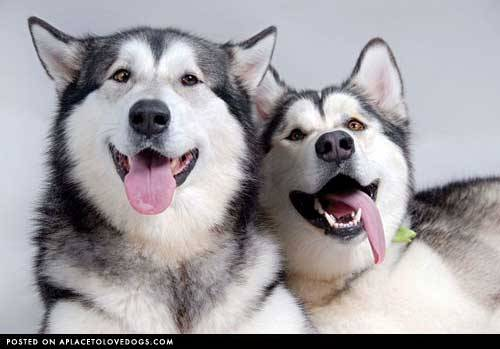 aplacetolovedogs:  izismile Happy happy Huskies! Original Article