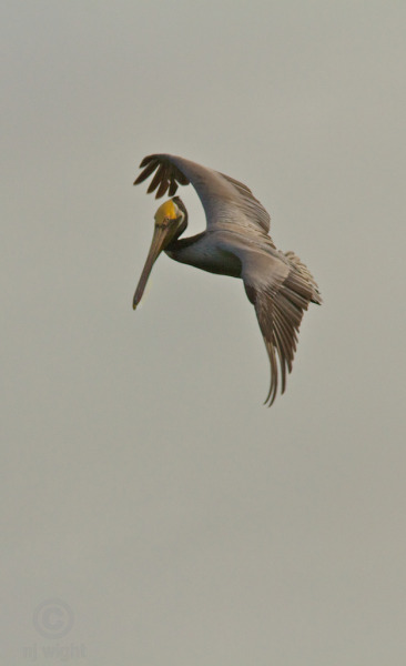 Circling breakfast…  More glamorous pelicans can be found here: http://njwight.tumblr.com/post/16792028079/pelican-glam-ll http://njwight.tumblr.com/post/16792021724/pelican-glam