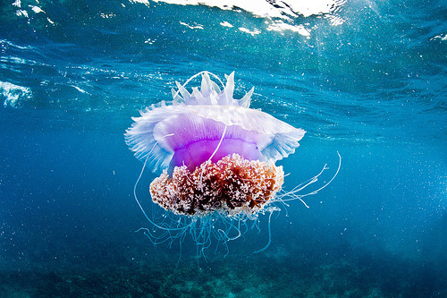 Giant Jelly in Cebu (by Paul Cowell)