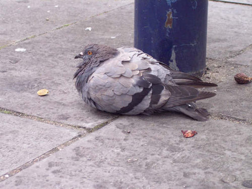trigger-happy-buttmunch:  so there's a pigeon i used to pass by in my old neighborhood all the time and he was really fat because people would just toss him food and literally he sat in the middle of the sidewalk and people would just step over him, he wouldn't even flinch. seriously you could sit down next to him and just feed him and he would be chill. he was there every day and all us locals would affectionately refer to him as 'lard-ass'