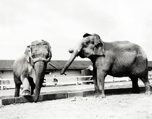 Elephants playing baseball
