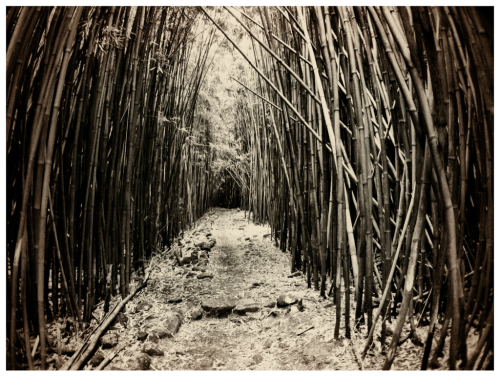 Postcard - The bamboo forests of Hana, HI