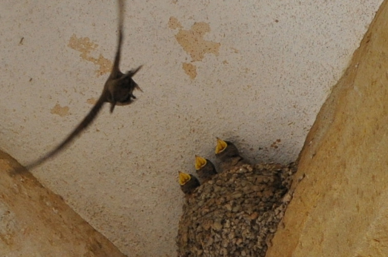 Feeding time for swallow chicks.  Convento de Cristo in Tomar, Portugal