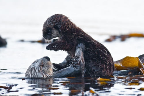 Otter about to give the little otter a headlock while little otter thinks nothing is going to happen.