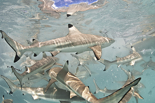 black tip reef