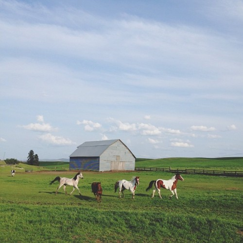 kevinruss:  The horses run and the cow walks. Palouse, WA (Taken with Instagram at Palouse Wa)
