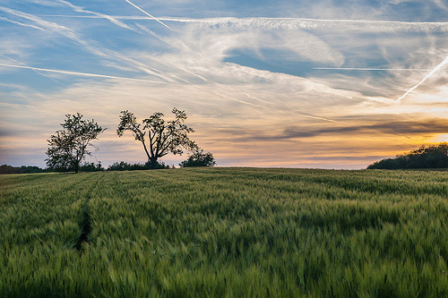 corn field in the evening (by hofluk)