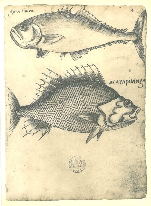 "From ""Historia dos animais e árvores de Maranhao"" probably written between 1625 and 1631 by  Frey Cristovao de Lisboa"