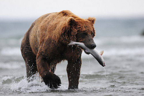 Pictures of bears catching fish always make me smile :)