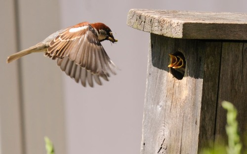 theanimalblog:  A male house sparrow flies up to a bird box with an insect to feed its nestlings in Bloomsburg, Pennsylvania.  Picture: Bloomsburg Press Enterprise, Jimmy May/AP