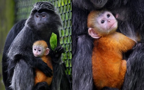 theanimalblog:  Malang, a one-month-old female langur, is cradled by her mother Untala, as she makes her public debut at Howletts Wild Animal Park, near Canterbury, Kent.  Picture: Gareth Fuller/PA