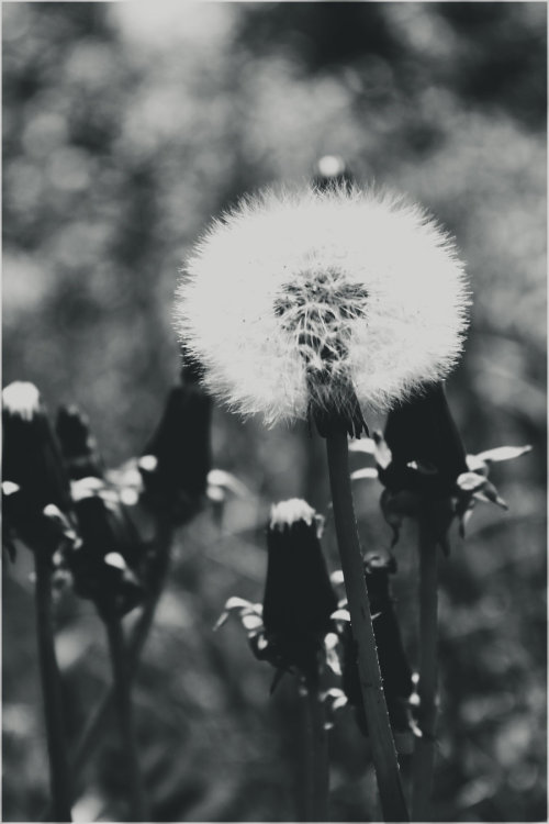 Sow-thistle. by ~LiberiusS