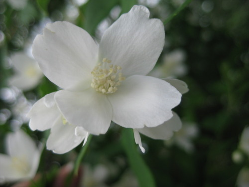Mock Orange in the spring.