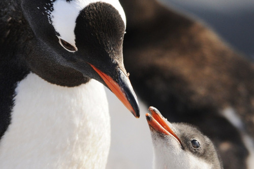 Gentoo Penguin by Jean-François Hic on Flickr.