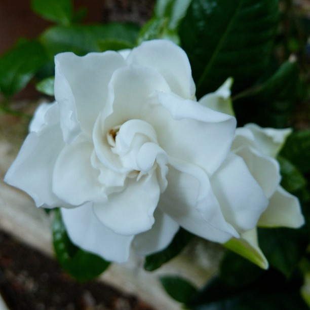 My all-time favorite. plantingart:  Gardenia (Taken with instagram)
